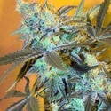 White Widow (Spliff Seeds) feminizada