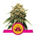 Special Queen 1 (Royal Queen Seeds) feminizada