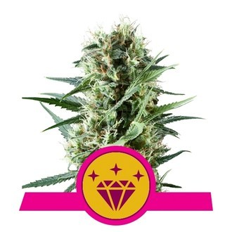 Special Kush 1 (Royal Queen Seeds) feminizada