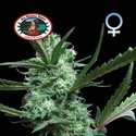 Cheesus (Big Buddha Seeds) feminizada