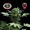 Automatic (Big Buddha Seeds) feminizada
