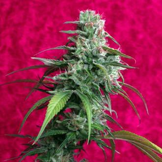 Juanita La Lagrimosa (Reggae Seeds) feminizada