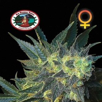 Chiesel (Big Buddha Seeds) feminizada