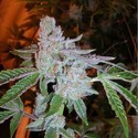 Buddha Tahoe OG (Cali Connection) feminizada