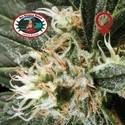 G Bomb (Big Buddha Seeds) feminizada
