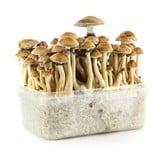 "Kit ""Brazil"" 100% Mycelium (Supa Gro)"