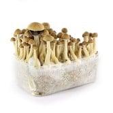 Kit 'Ecuador' 100% Mycelium(Supa Gro)