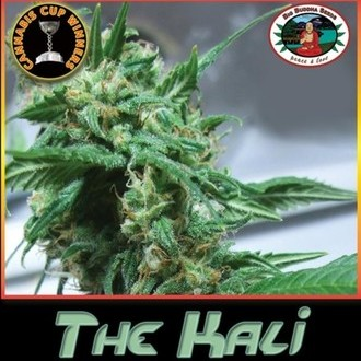 The Kali (Big Buddha Seeds) feminizada