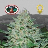 Freeze Cheese ´89 (Big Buddha Seeds) feminizada