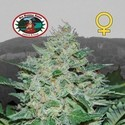 Freeze Cheese ´89 (Big Buddha Seeds) feminizada