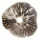 Sello de Esporas Psilocybe Cubensis Colorado