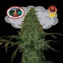 Critical Mass Automatic (Big Buddha Seeds) feminizada