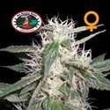 Cheese Dawg (Big Buddha Seeds) feminizada