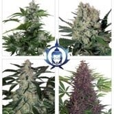 Assorted Auto (Buddha Seeds) feminizada