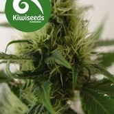 Daddy's Girl (Kiwi Seeds) feminizada