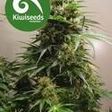 Kiwiskunk (Kiwi Seeds) feminizada