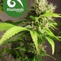 Mako Haze (Kiwi Seeds) feminizada