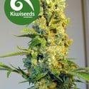 Milkyway (Kiwi Seeds) feminizada