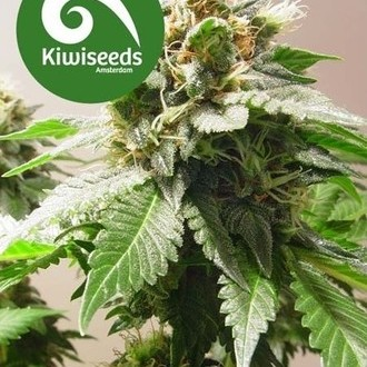 Mt Cook (Kiwi Seeds) feminizada