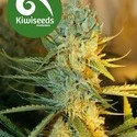 Ray's Choice (Kiwi Seeds) feminizada