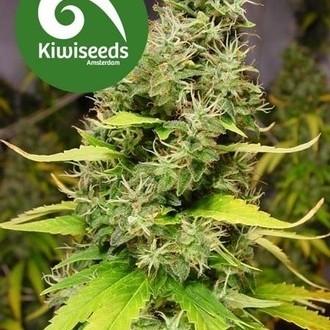 White Island (Kiwi Seeds) feminizada