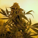 Guillotine (French Touch Seeds) feminizada