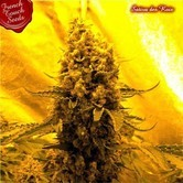 Sativa Des Rois (French Touch Seeds) feminizada