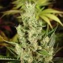 Amnesia Haze (Soma Seeds) feminizada