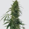 Pulsar (Buddha Seeds) feminizada