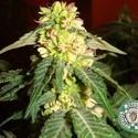 Kushadelic (Soma Seeds) feminizada