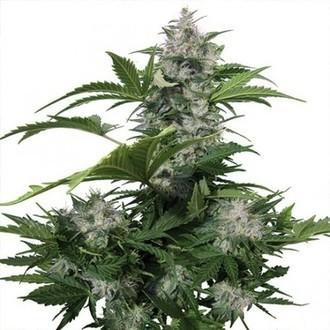 White Dwarf (Buddha Seeds) feminizada