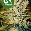 Alegria (Kiwi Seeds) feminizada