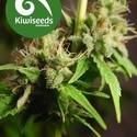 Auto Mako (Kiwi Seeds) feminizada