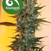 Auto Power Plant (Kiwi Seeds) feminizada