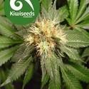 Hindu Kush (Kiwi Seeds) feminizada