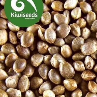 Indoor Mix (Kiwi Seeds) feminizada