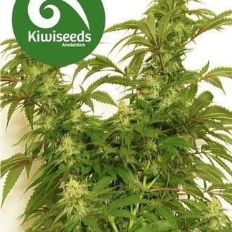Little Dipper (Kiwi Seeds) feminizada
