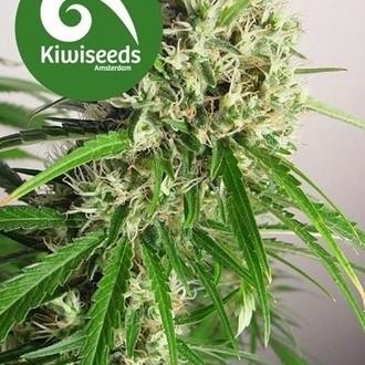 Phatt Freddy (Kiwi Seeds) feminizada