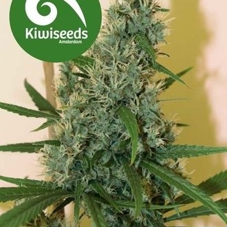 South Star (Kiwi Seeds) feminizada
