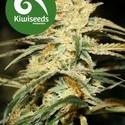 Sugar Baby (Kiwi Seeds) feminizada
