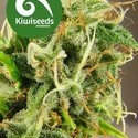Tasman Haze (Kiwi Seeds) feminizada