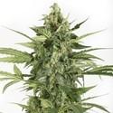 Blue Cheese Autoflowering (Dinafem) feminizada