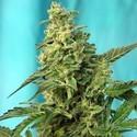 Green Poison - F1 Fast Version (Sweet Seeds) feminizada