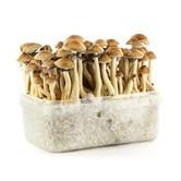 """Kit 100% Mycelium """"Orissa India"""" (Supa Gro)"""