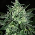 Spicy White Devil (Samsara Seeds) feminizada