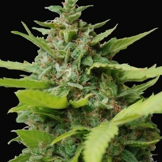 Kiss Dragon (Samsara Seeds) feminizada