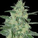 Holy Grail 69 (Samsara Seeds) feminizada