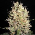 Crazy Miss Hyde (Samsara Seeds) feminizada