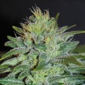 Sweet Black Angel (Samsara Seeds) feminizada
