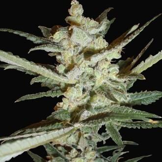 Supersonic Cristal Storm Automatic (Samsara Seeds) feminizada